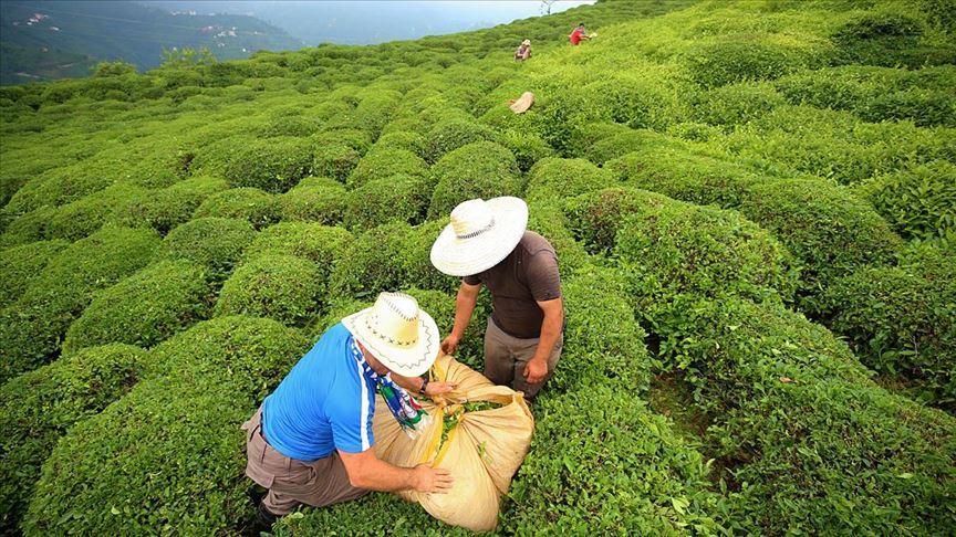 Türkiye 10,77 milyon dolarlık çay ihraç etti
