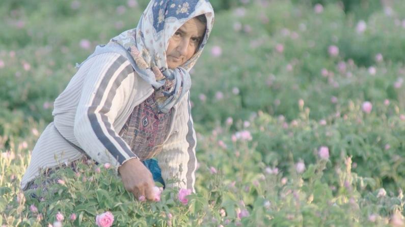 Turkish Cargo, Türk güllerini dünyanın  bört bir yanına yaşıyor