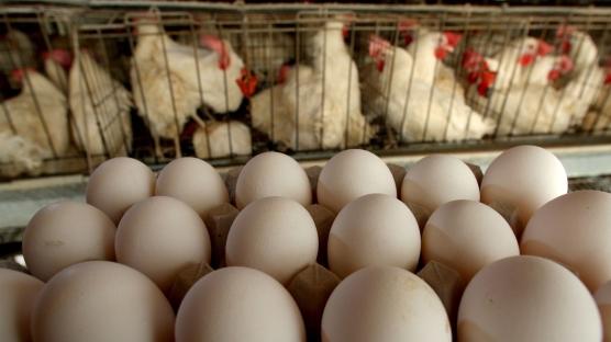 Singapur'a yumurta ihraç etmeye başladık