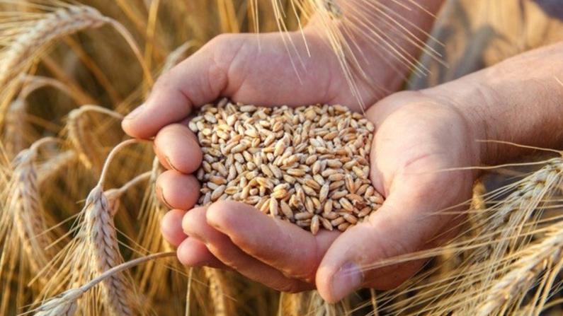 Azalan buğday verimine karşı 'doğru ve sürdürülebilir' tarım